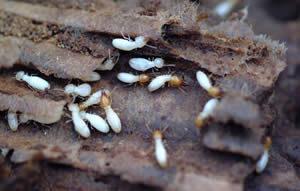termite-damage-2